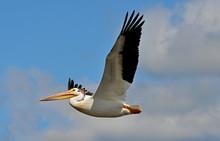 American White Pelican In Flig...