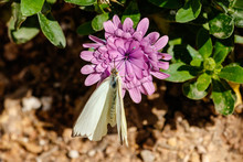 Great Southern White Butterfly Feeding On A Purple Flower In The Sonoran Desert Of Arizona.
