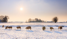 Sheep (Ovis Aries) In Snow Whi...
