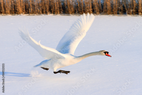 Beautiful swan (Cygnus olor) takes off from the snowy ice in winter in the Netherlands