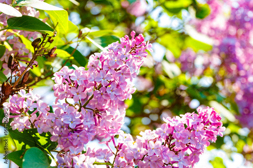 Poster Fleuriste Blooming lilac