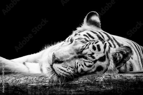 Photo Stands Panther Portrait of a white tiger isolated on black