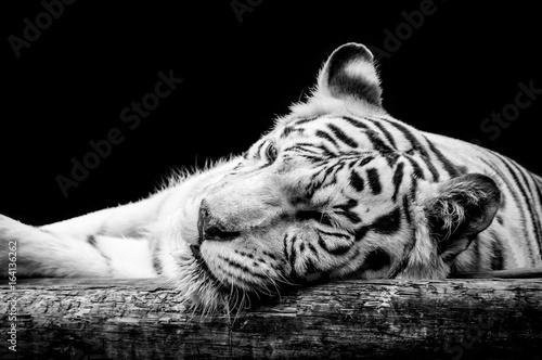 bialy-tygrys-na-czarnym-tle