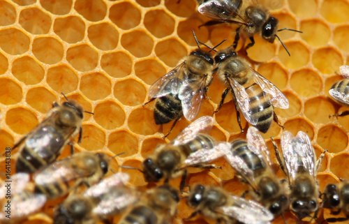 Poster Bee Bees