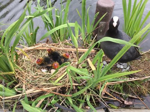 Photo Meerkoet kuikens in nest en ei