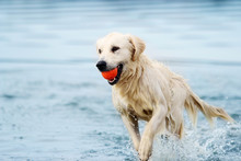 A Dog Runs Along The Beach In ...