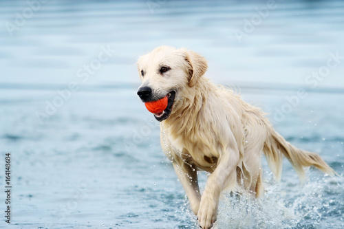 fototapeta na lodówkę A dog runs along the beach in a spray of water, a golden retriever