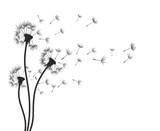 Fototapeta Dmuchawce - Flower of field dandelion.