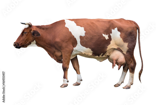 Adult cow in motion. Isolated