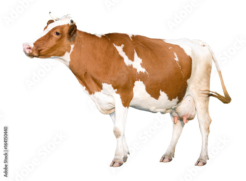 Fotobehang Koe Adult cow in motion. Isolated