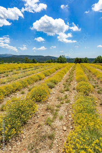Papiers peints Vignoble Blossoming field in the provence