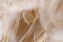 Tragopogon Dubius, Dandelion, Macro Image