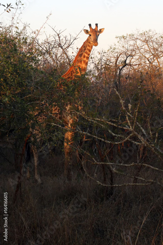 Fotografie, Obraz  The South African giraffe or Cape giraffe (Giraffa camelopardalis giraffa) durin