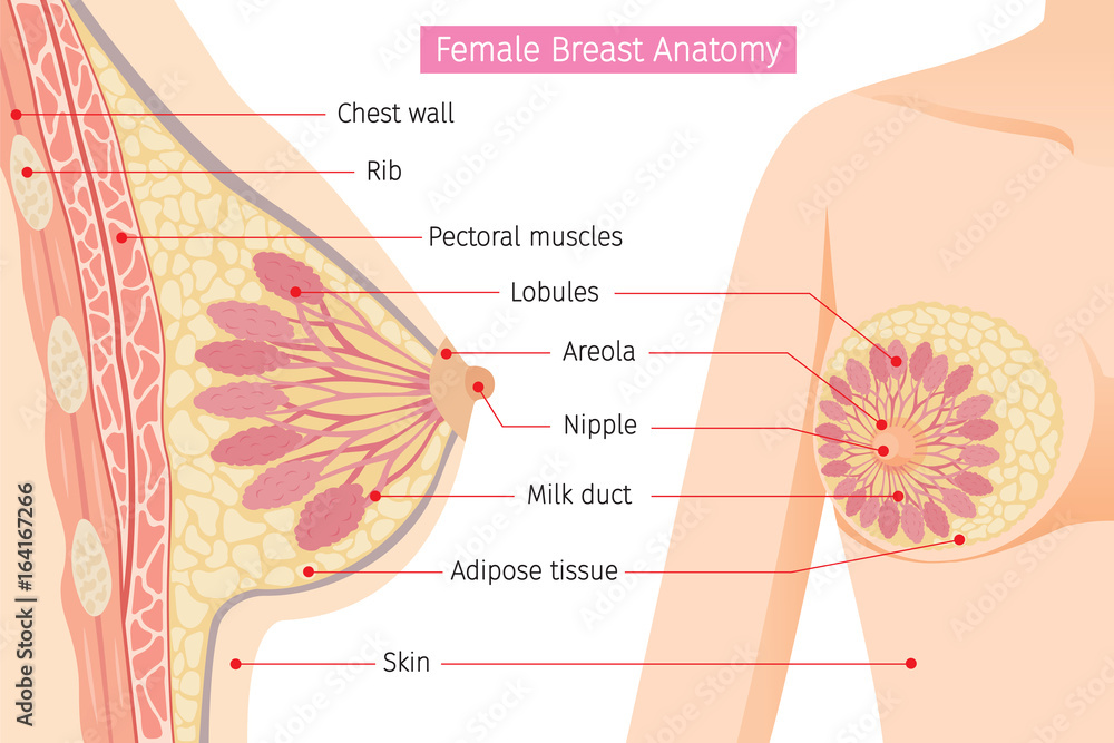 Cross Section Of Female Breast Anatomy Mammary Boob Body Organs