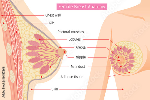 Obraz na plátne Cross Section Of Female Breast Anatomy, Mammary, Boob, Body, Organs, Physical, S