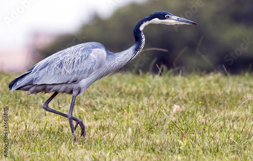 Photo Wild Black Headed Heron Foraging in Dry Winter Grass