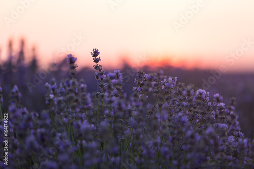 Aluminium Prints Light pink Blooming lavender in a field at sunset