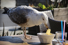 Seagull Eating Potato Chips