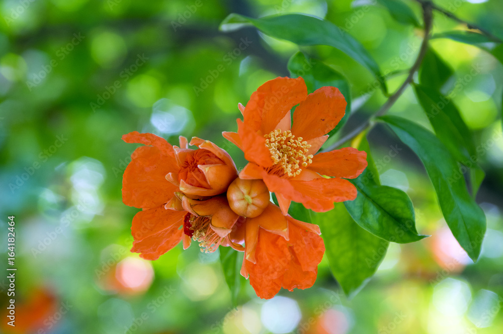 Fototapety, obrazy: Punica granatum, pomegranate tree in bloom