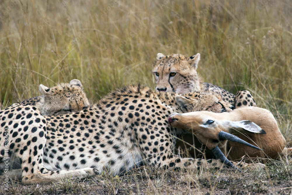Cheetah family caught and eating Impala in the African savannah