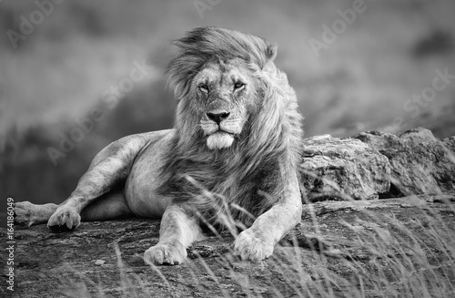 Poster Lion Mighty and beautiful lion resting in the African savannah, black and white