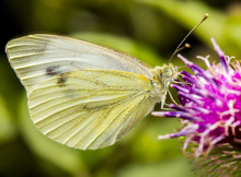 Butterfly At Cardoon Flower