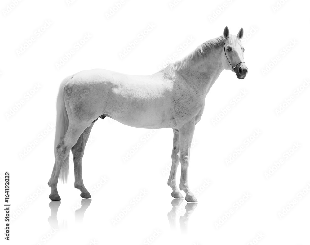 Fototapety, obrazy: white horse isolated of on the white background