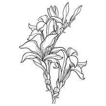 Vector Branch With Outline Canna Lily Or Canna, Flower Bunch And Bud In Black Isolated On White Background. Floral Elements In Contour Style With Ornate Flower For Summer Design And Coloring Book.