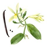 Watercolor vanilla plant - 164204031