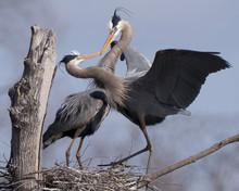 Great Blue Herons Showing Breeding Behavior