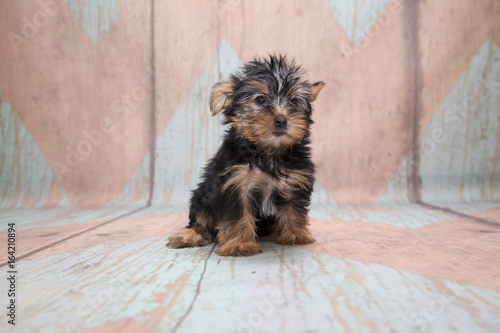 Deurstickers Franse bulldog Yorkshire Terrier on pattern background