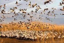 Flocking Around Hula Lake Geese, Cranes And Other Birds