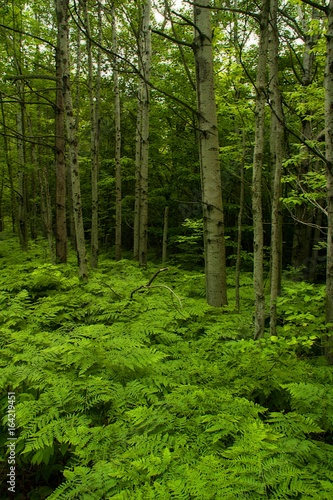 Fototapeten Wald Ferns in the Woods-Door County