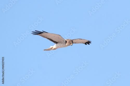 Sticker - Northern Harrier (Circus cyaneus)