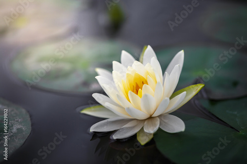 Staande foto Lotusbloem White lotus with yellow pollen on surface of pond