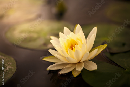 Garden Poster Lotus flower White lotus with yellow pollen on surface of pond