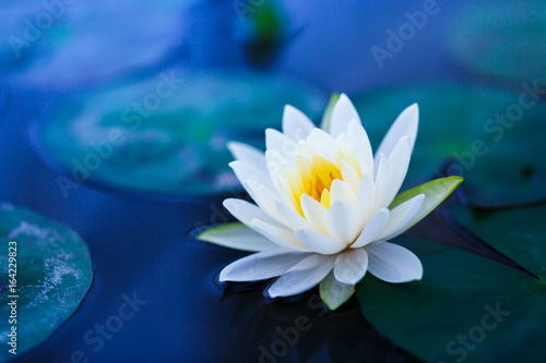 Montage in der Fensternische Lotosblume White lotus with yellow pollen on surface of pond