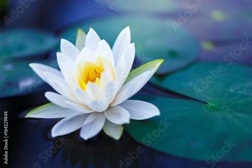 Photographie  White lotus with yellow pollen on surface of pond