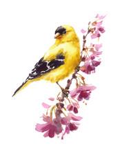 Watercolor Bird American Goldf...