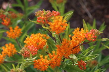 Asclepias Tuberosa On Butterfl...