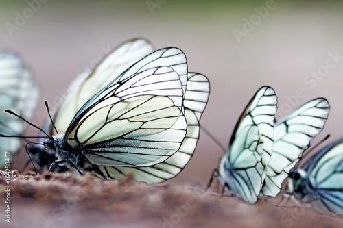 Butterflies. Black-veined White (Aporia crataegi) Wallpaper Mural