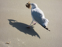 A Seagull With A Crab In Her B...