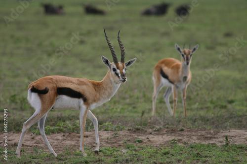 Wild Antelope mammal in African Botswana savannah Poster