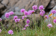 Sea Thrift (Armeria Maritima) In Bloom On The Coastal Cliffs Of Cornwall.  The Magenya And Pink Flowers Have Stamens Loaded With Pollen. Against A Rock Wall.