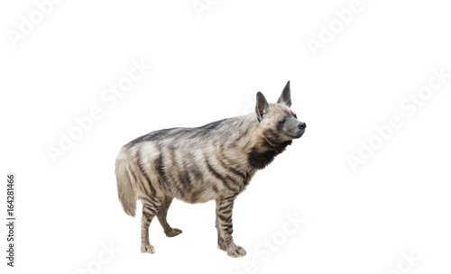 Foto auf Gartenposter Hyane Hyena on white background isolated