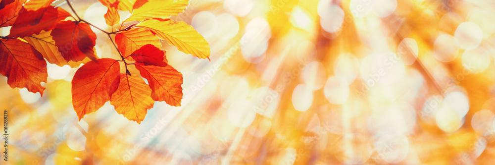 Fototapety, obrazy: Beech Leaves, Sunny Autumn