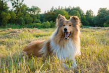 Collie Dog Looking On Green Field At Sunlight