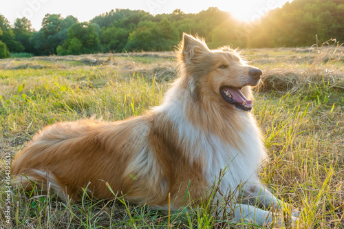 Collie dog on green field at sunlight Canvas Print