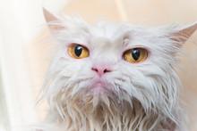 Close Up Wet Persian Cat Eye.