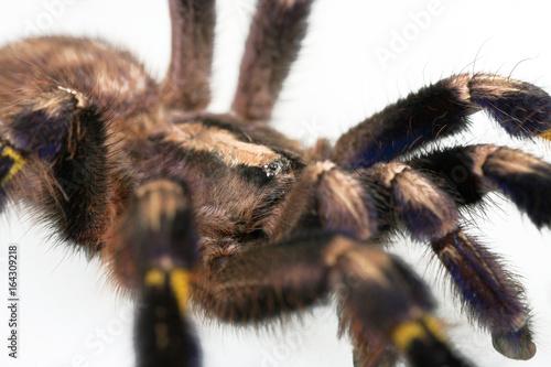 Photo Vogelspinne Portrait mit Spinnenaugen